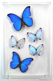 blue pearls ii big blue morpho butterfly framed pictures