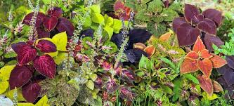 How To Grow Coleus Plants by Mistakes To Avoid When Growing A Coleus Doityourself Com