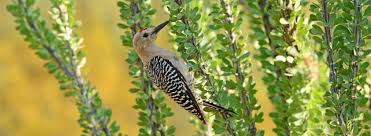 native plants of arizona meet your common birds tucson audubon society