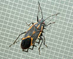 Common Bathroom Bugs Boxelder Bugs Insects University Of Minnesota Extension