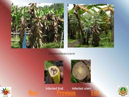 Types Of Bacterial Diseases In Plants - bacterial diseases in mango nextend generally two types of