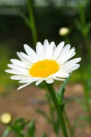 52 best my favorite flower shasta daisy images on pinterest
