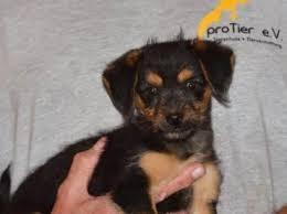 australian shepherd 4 monate gewicht 17 best ideas about mischlingshunde on pinterest süße