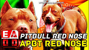 american pitbull terrier ireland american pitbull terrier red nose ofrn or red nose pitbull youtube