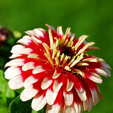 zinnia flower top 15 most beautiful zinnia flowers
