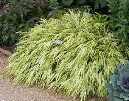 best hardy perennial ornamental grasses for and midwest gardens