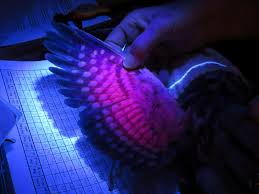 uv light for birds banding the mysterious northern saw whet owl in lake placid lake