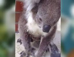 koala covered sharp burs wanders man u0027s front porch