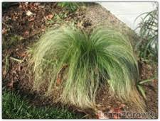mexican feather grass gardening