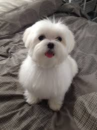 maltese haircut styles animals pinterest maltese haircut