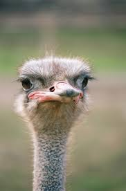 Ostrich Meme - create meme ostrich ostrich ostrich ostrich pictures