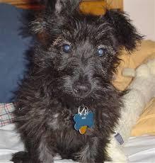 afghan hound poodle cross scoodle scottish terrier and poodle mix spockthedog com