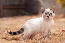 how to train a siamese cat pets world