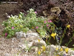 transplanting native plants texas native plant week u2013rock rose pavonia lasiopetala my