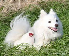 american eskimo dog energy level empress