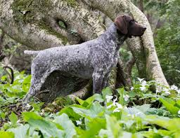Animal Trainers Salary Breed Of The Week The German Shorthaired Pointer Simply For Dogs