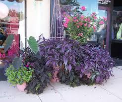 ornamental sweet potato vine the many colors of ipomea batatas