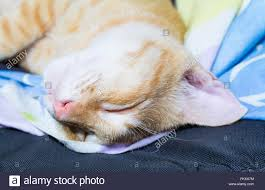 Sleeping In A Chair Orange Tabby Cat Happily Sleeping In A Chair Stock Photo Royalty