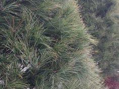 pin by craig kessler on christmas trees medina ohio pinterest
