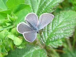 butterflies small blue