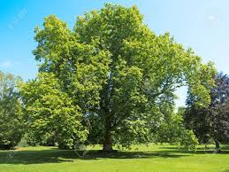 plane tree of age and dimensions stock photo picture
