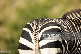 14 zany facts zebras mental floss