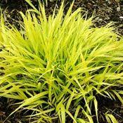grass plants for sale ornamental grasses