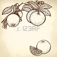 a branch of a lemon with fruit and leaves drawing vintage