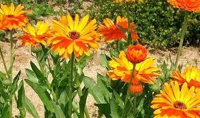 calendula flowers calendula side effects uses and benefits