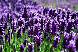 lavender flowers lavender in different countries spain