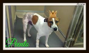bluetick coonhound terrier mix peento total hip replacement