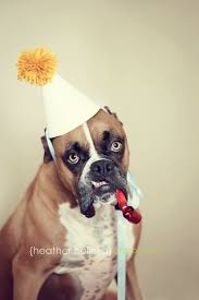 boxer dog origin 20 best boxer dog images on pinterest the boxer animals and boxers