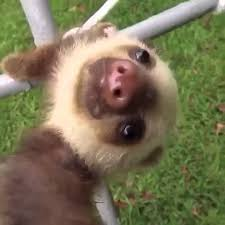 Angry Sloth Meme - cute falling sloth youtube