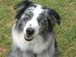 3 winds ranch australian shepherd share your dog stories and pics about your australian shepherd