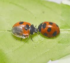 the folding mechanism of ladybug wings