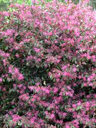 spring blooming shrubs in my garden in north carolina heart of a
