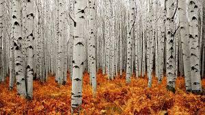 aspen tree wallpapers hd pixelstalk net best games wallpapers aspen tree wallpapers hd pixelstalk net