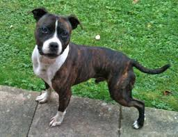 american pit bull terrier breed standard replies