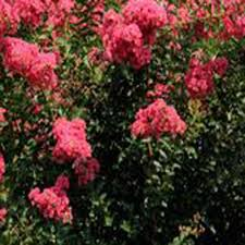 encore azalea shrubs trees u0026 bushes the home depot
