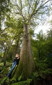 uk s tallest oak tree at 131ft discovered in wiltshire metro news