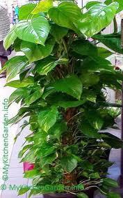 money plant plant grow care money plant tree