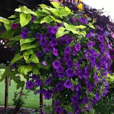 how to grow ornamental sweet potato vine ornamental sweet potato