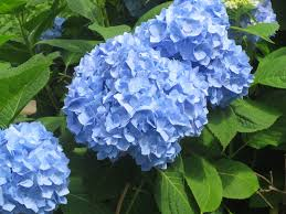 list of blue flowers names 14 cool hd wallpaper