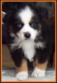 mini australian shepherd 7 weeks ghost eye mini aussie avail xmas 2014 litter 7 pup3 jessie blue