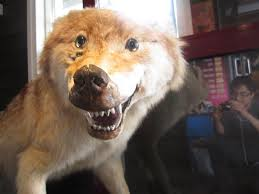 Taxidermy Fox Meme - bad taxidermy becoming internet sensation montana hunting and