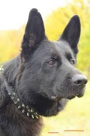 classic design german shepherd walking leather dog collar attractive german shepherd collar superb suits for daily activities