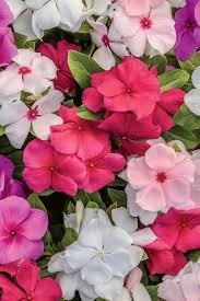 61 best vinca flowers images on pinterest garden garden plants