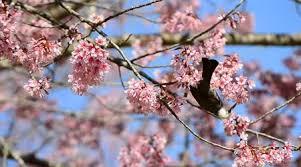 bird nectar of cherry blossom tree stock