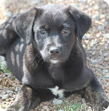 australian shepherd lab puppy ciara adopted puppy 68147 hooksett nh australian shepherd