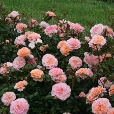 drift roses apricot drift finegardening